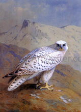 A Greenland, or Gyr Falcon - Archibald Thorburn